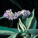 Solanum auriculatum