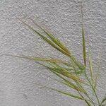 Echinochloa esculenta