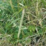 Elymus virginicus