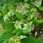 Vangueria madagascariensis Flower