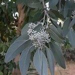 Eucalyptus polyanthemos