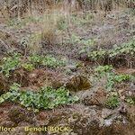 Umbilicus heylandianus