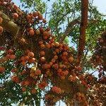 Ficus sycomorus Fruitua