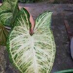 Syngonium podophyllum Leaf