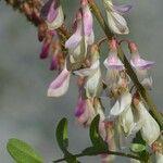 Hedysarum boutignyanum