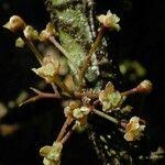 Amborellaceae