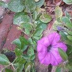 Petunia x atkinsiana
