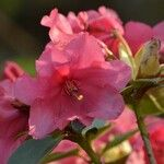 Rhododendron haematodes