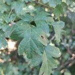 Crataegus monogyna Leaf