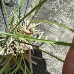 Heteropogon contortus Foglia