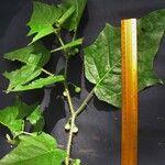 Solanum acerifolium