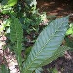 Chrysophyllum cuneifolium Leht