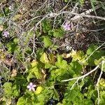 Erodium aethiopicum