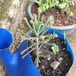 Bryophyllum delagoense