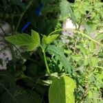 Passiflora foetida List