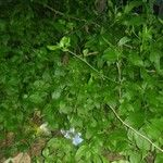 Plumbago zeylanica Leaf