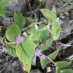 Vernonia arborescens