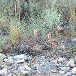 Astragalus aequalis