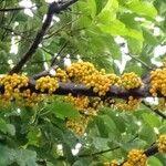 Ficus heteropoda