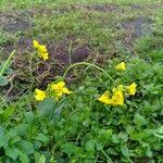 Brassica rapa 花