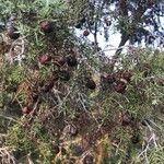 Juniperus oxycedrus Liść