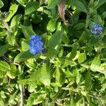 Myosotis sylvatica Kwiat