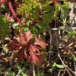 Geranium purpureum Foglia
