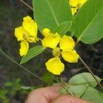Eragrostis prolifera