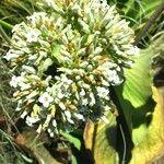 Kalanchoe ceratophylla