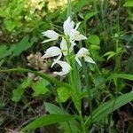 Cephalanthera longifolia Kvet