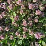 Lamium purpureum 葉