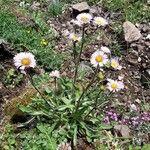 Erigeron alpinus