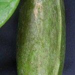 Marsdenia macrophylla
