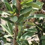 Boscia angustifolia