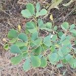 Acacia mellifera Lehti