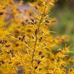 Ulex parviflorus Fleur