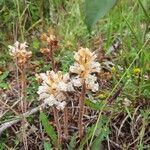 Orobanche picridis Flower