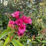 Weigela florida Pflanze