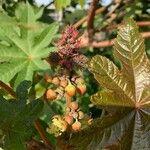 Ricinus communis Flower