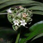 Carapichea ipecacuanha