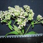 Chromolaena glaberrima