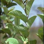Annona senegalensis
