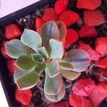 Aeonium arboreum Leht
