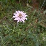 Knautia integrifolia Kvet
