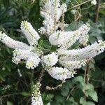 Buddleja paniculata Flower