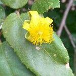 Grewia hexamita