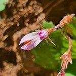 Pelargonium glechomoides