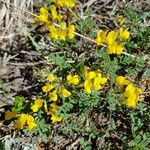 Coronilla vaginalis