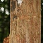 Myrciaria floribunda