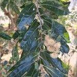 Brachylaena transvaalensis Leaf